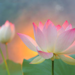 Sunshine Lotus